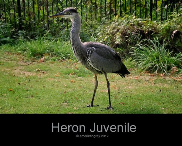 Heron Juvenile . .