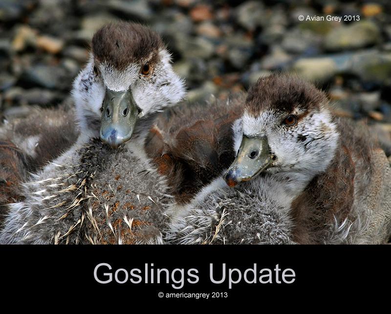 Goslings Update
