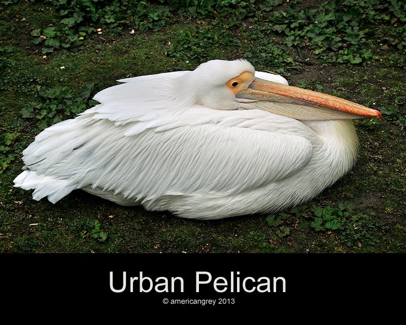 Urban Pelican