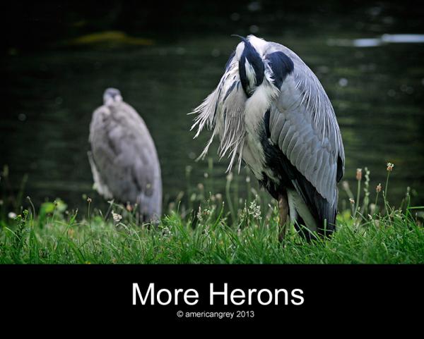 More Herons