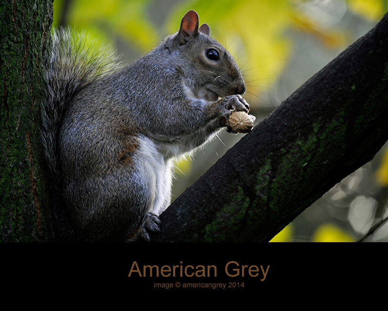 Another American Grey