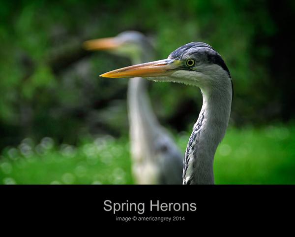 Avian Grey