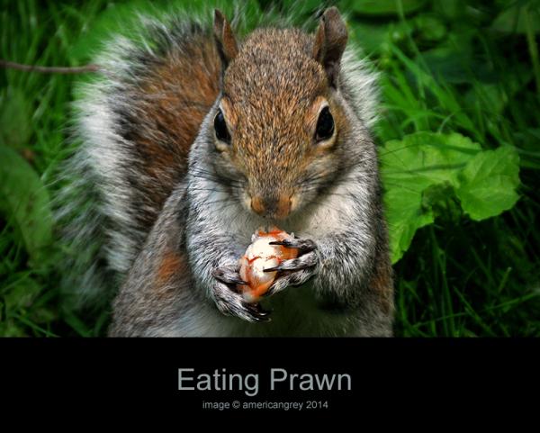 Squirrel Eating Prawn