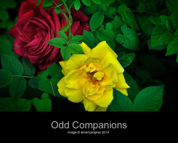Odd Companions