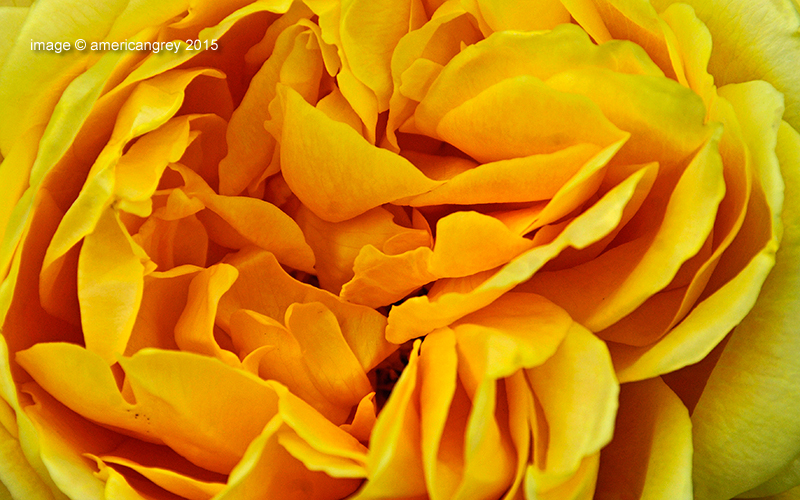 A Rose, a Rose . .