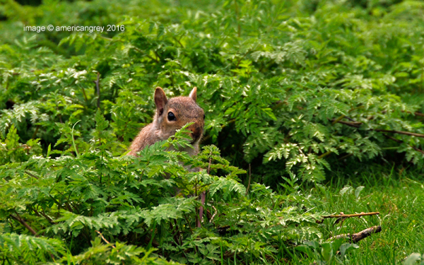 """""""Red"""" Squirrel ?  2/2"""