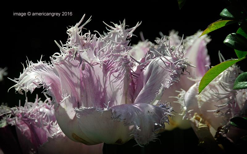 Rag Tulip  2/2