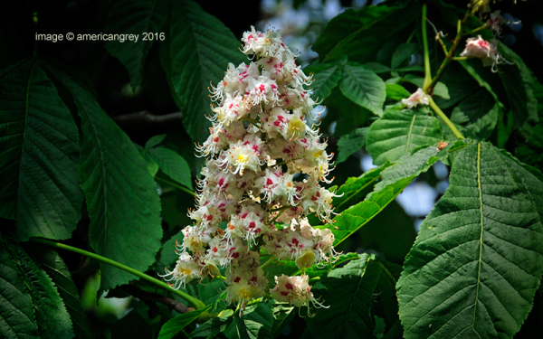 Chestnut Blossoms 1/2