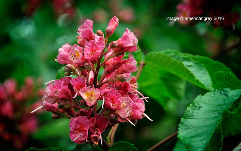 Chestnut Blossoms 2/2