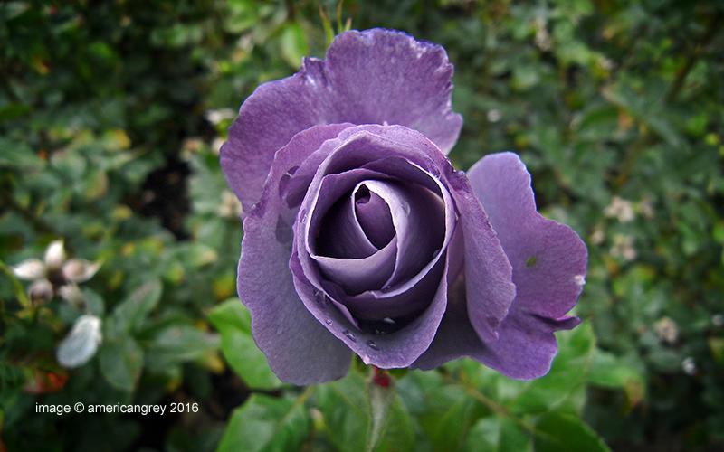 Lingering Rose