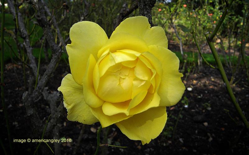 Lingering Rose 3 of 3