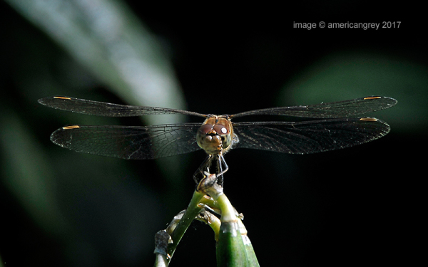 Dragonfly 1/2
