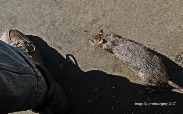 Rat Passing