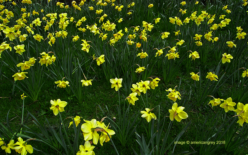 Daffodils . .
