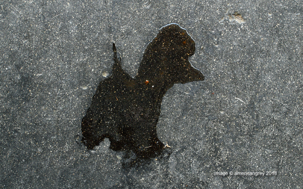 Poodle in a Puddle