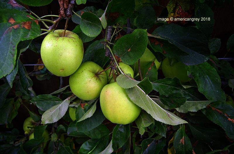 . . an apple a day . .