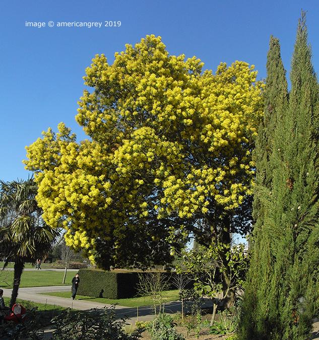 Wonderful Mimosa