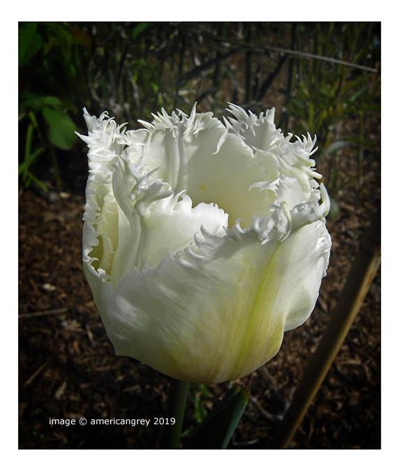 Rag Tulip