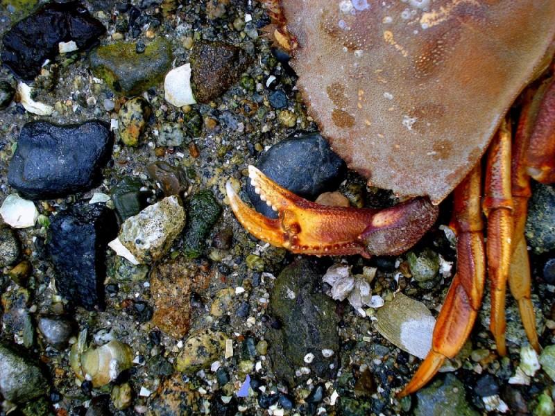 Dead crab, Deep Cove, North Vancouver
