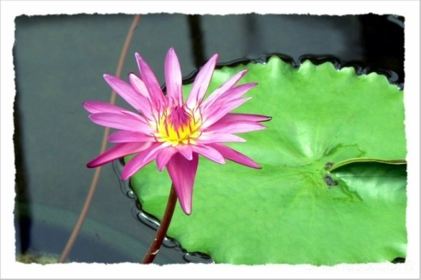 Trapper keeper flower lily pond