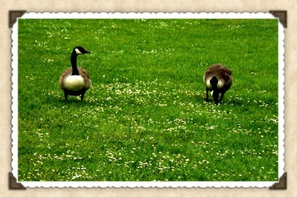 ducks at kew gardens