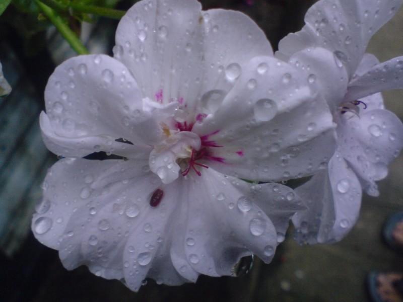 La fleur d'eau