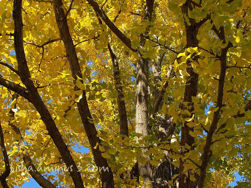 ginkgo tree