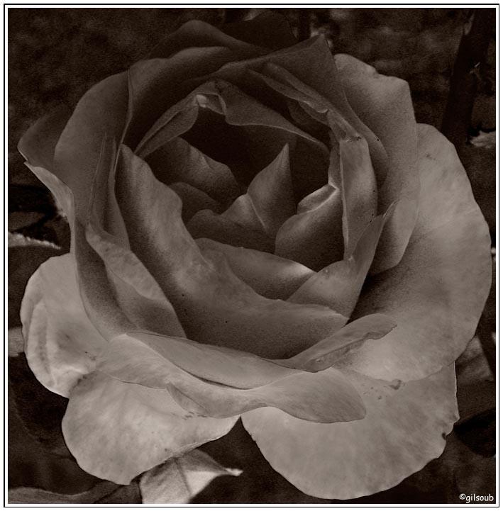 Rose noir et blanc...