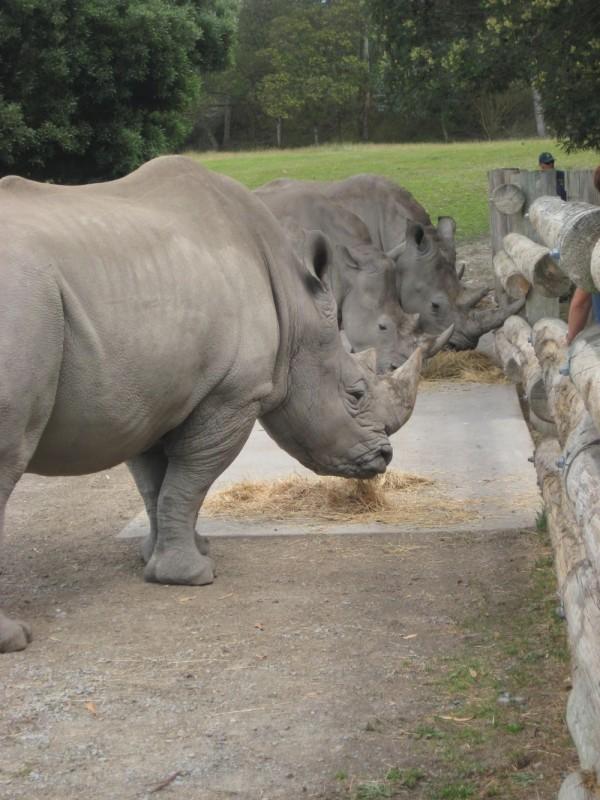 Rhino's at Orana PArk