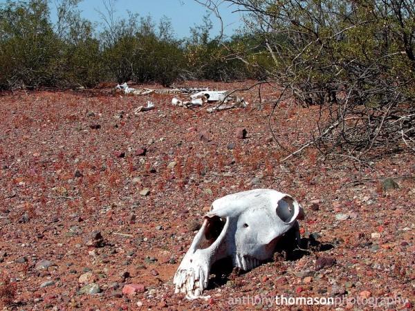 Dead horse bones