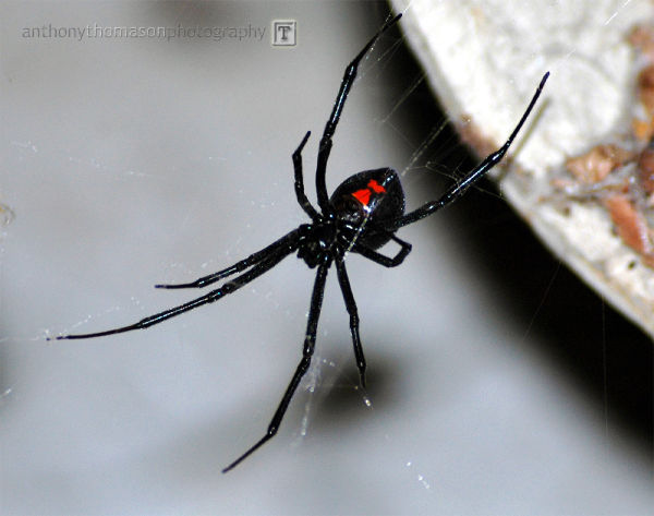 Black widow in web