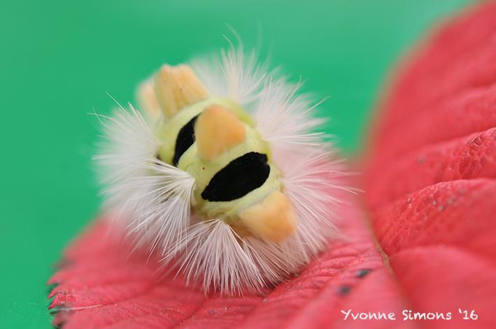 Calliteara pudibunda (De Meriansborstel)