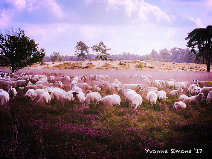sheep on the heath