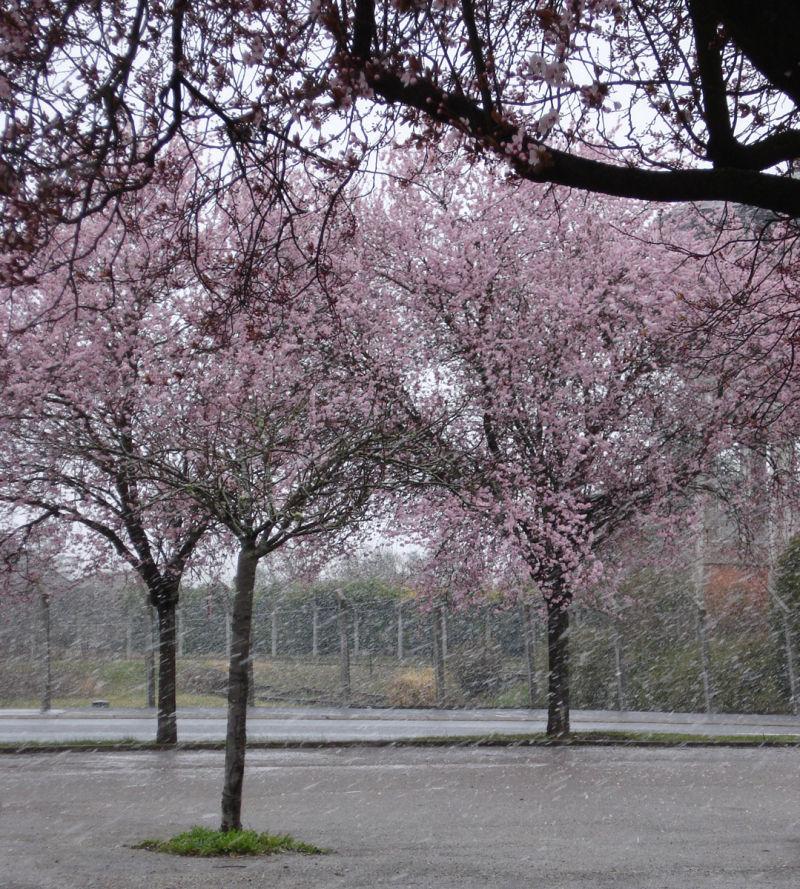 snow blossoms