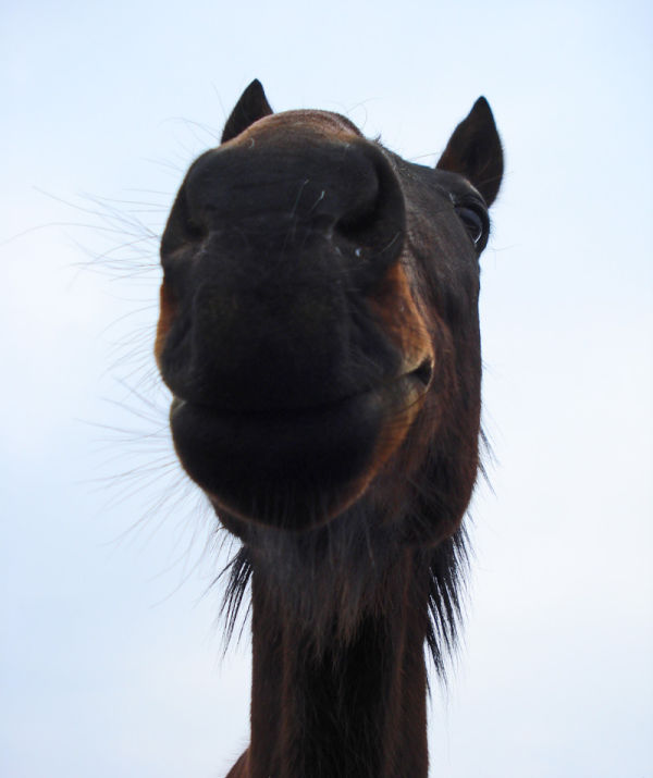 Cheval souriant