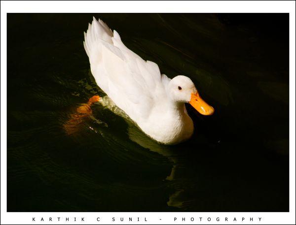 Pride Swan