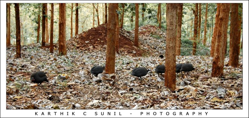 Herd of Jungle Fowl