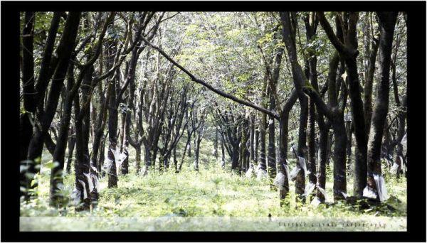 Rubber Plantation