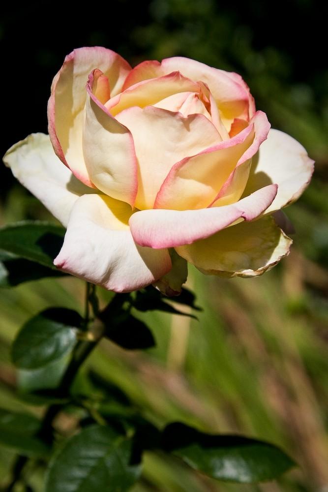 Rose in a garden in Saugatuck Michigan