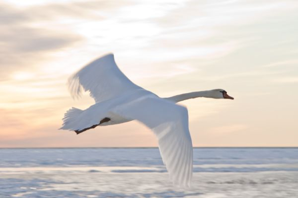 A swan suprises us at the Muskegon Lighthouse