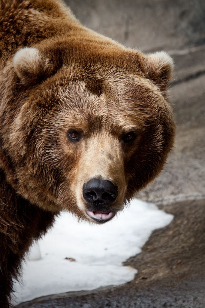 A bear at the John Ball Zoo in Grand Rapids MIchig