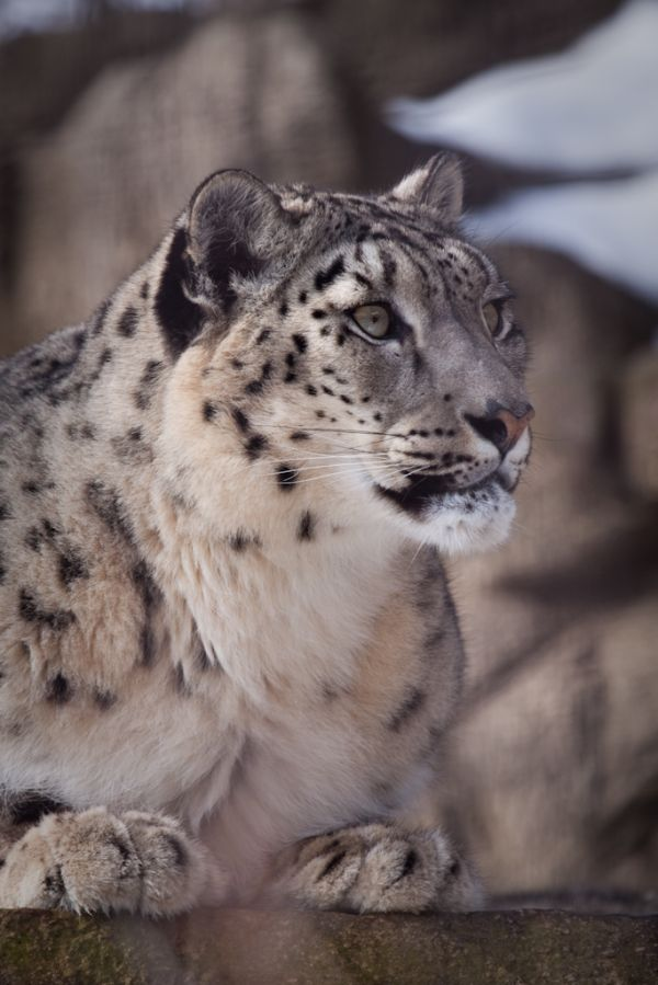 A snow leopard from the John Ball Park Zoo in Gran