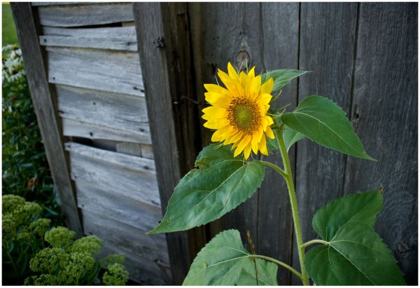 Sunflower and Outhouse