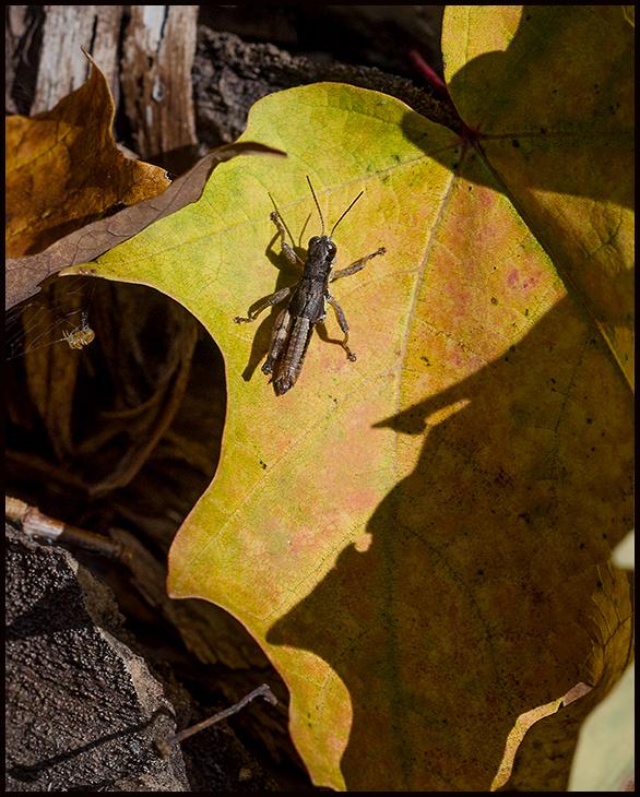 Grasshopper Warming