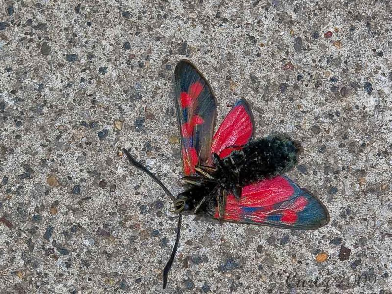 Burnett Moth dead on South Shields street