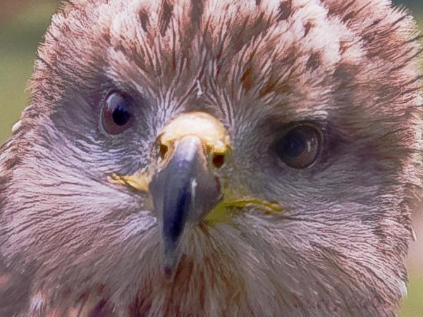 Eagle Owl at Medieval Fayre, Jarrow