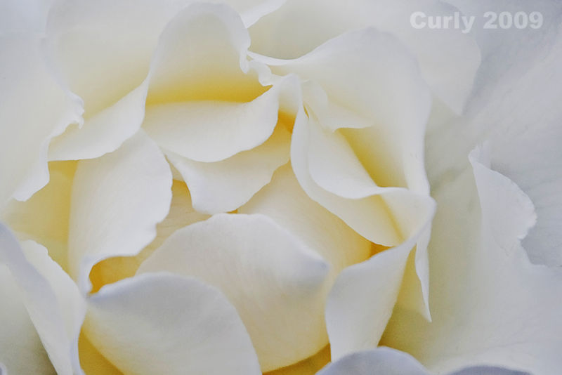 White rose, South Marine Park, South Shields