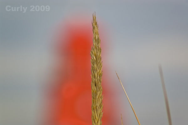 Dune grass, South Shields, the Groyne.