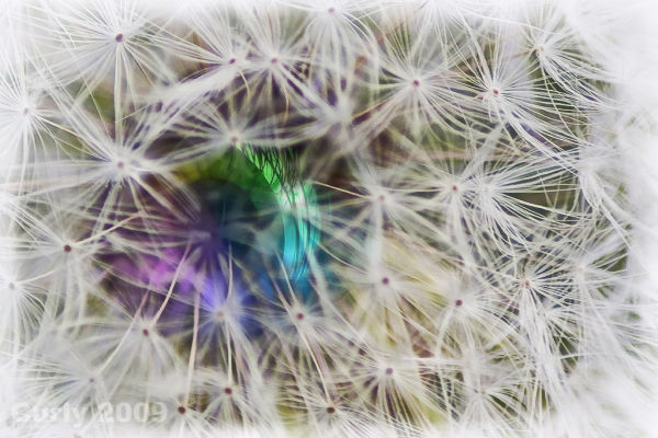 dandelion seeds, south shields