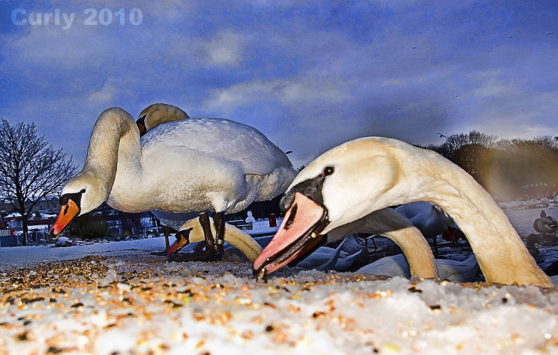 swans in South Shields